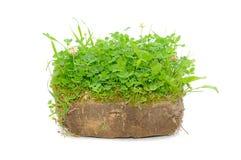 Green Plants In Soil Stock Image