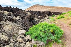 Green plants and lava field near to tourist road trail to vulcano Caldera Blanca, Lanzarote, Canary Islands, Spain.  royalty free stock photo