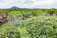 Green plants and lava field near to tourist road trail to vulcano Caldera Blanca, Lanzarote, Canary Islands, Spain.  stock photography