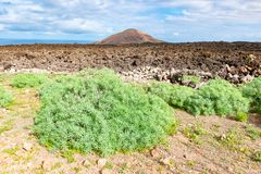 Green plants and lava field near to tourist road trail to vulcano Caldera Blanca, Lanzarote, Canary Islands, Spain.  stock photo