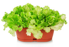 Green plants of lettuce in pot Royalty Free Stock Image