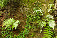 Green Plants on old wall Royalty Free Stock Images