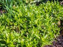 Green plants photographed with soft focus. Carpet from grass, coverage of green leaves, eco, background with blur Stock Image