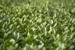 Green plants photographed with soft focus. Carpet from grass, coverage of green leaves, eco, blurred background Royalty Free Stock Image