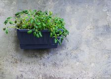 Green plants in a plastic jardiniere on a grey wall as decoration in Iseo town. stock photo