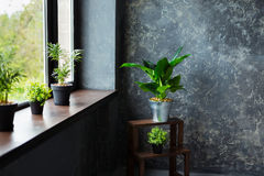 Green plants in pot decorating a room with loft wooden interior and big window. Stock Images