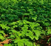 Green plants of potato Royalty Free Stock Photo