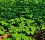 Green plants of potato. Crop Royalty Free Stock Photo