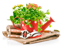 Green plants in red watering can with garden tool Stock Photos