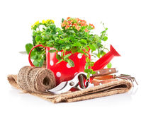 Green plants in red watering can with garden tool Royalty Free Stock Image