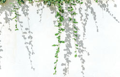 Green plants and shadow leaf on white concrete wall. Close up green plants and shadow leaf on white concrete wall Stock Images