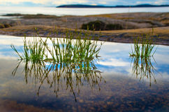 Green plants in silent water Stock Photography