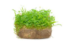 Green Plants in Soil. Isolated on a white background Stock Image