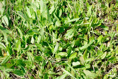 Green plants  sorrel Royalty Free Stock Photo