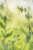 Green plants at sunrise. In the field Royalty Free Stock Photos