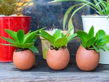 Green plants in three eggshells on wooden table stock image