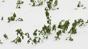Green plants under the snow stock footage