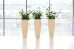 Green plants in vase Royalty Free Stock Images