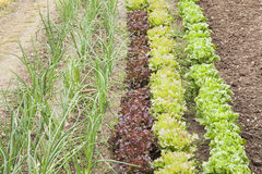 Green plants on a vegetable garden. Lettuces variation and onions cultivated at an orchard Royalty Free Stock Images