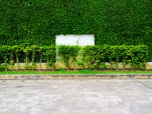 Green plants of wall nature and white concrete floor in the gard. Green plants of wall nature and white concrete and floor in the garden Royalty Free Stock Photo