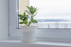 Green plants on windowsill in winter royalty free stock photography