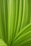 Green pleated leaf Royalty Free Stock Image