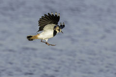 Green plover landing Stock Images
