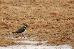 Green Plover Stock Photo