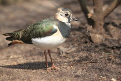 Green plover Royalty Free Stock Photography