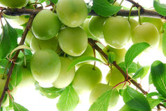 Green plum Stock Photos