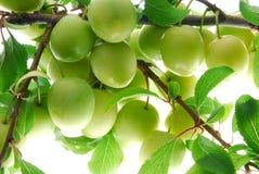 Green plum Stock Photos