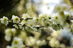 Green plum blossom Stock Image