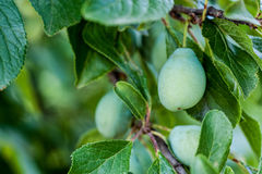 Green plum on a branch Stock Photography