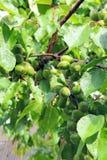 Green plum Royalty Free Stock Photos