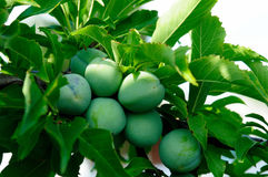 Green plum on branch Stock Photography