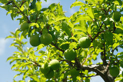 Green plum fruits on a plum tree. Young green prune plum fruits in spring on a plum tree branch in an orchard royalty free stock photos