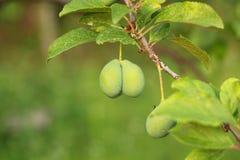 Green plum. Growing on tree royalty free stock photo