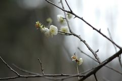 Green plum-Plum blossom. The plum blossom is a winter flower with the characteristics of cold resistance. Plum blossom is native to China, and then introduced to Stock Photo