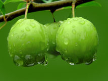 Green plum. S on a branch with raindrops Stock Photography