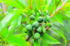 Green plum Stock Photography