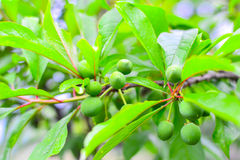 Green plum Stock Photo