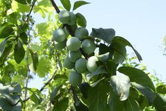 Green plum tree with branches and leaves and fruits. stock photo