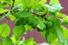 Green plum on the tree Royalty Free Stock Photo