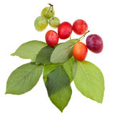 Green plum tree leaves and plums Royalty Free Stock Photos