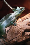 Green Plumed Basilisk lizard. A Green Plumed Basilisk lizard sitting on a branch. Basiliscus plumifrons Royalty Free Stock Image