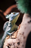 Green Plumed Basilisk lizard Royalty Free Stock Photos