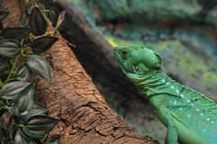 Green plumed basilisk Royalty Free Stock Photos