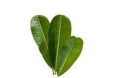 Green plumeria leaf isolated. On white background stock photography