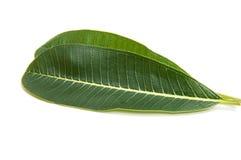 Green plumeria leaf isolated. On white background royalty free stock photos