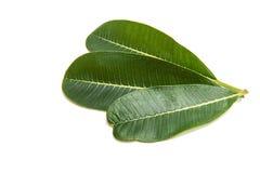Green plumeria leaf isolated. On white background stock image